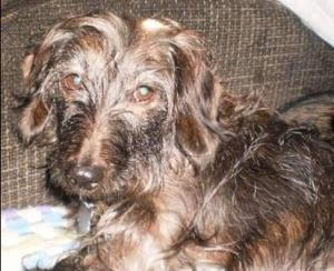 Buddy, aka Mr Budro, is John's wirehaired dachshund.